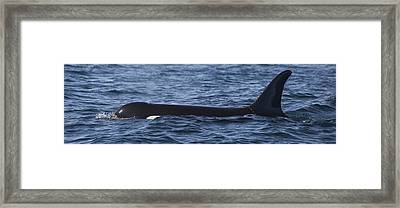 Orca Orcinus Orca Surfacing Showing Framed Print by Matthias Breiter
