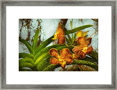 Orchid - Oncidium - Ripened   Framed Print by Mike Savad