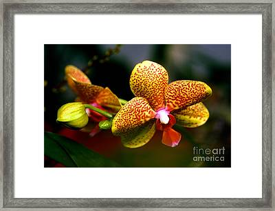 Orchid 60 Framed Print by Terry Elniski
