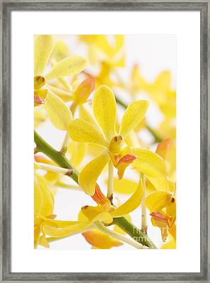 Orchid Bunch Framed Print by Atiketta Sangasaeng