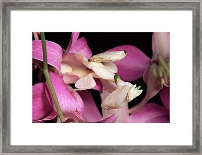 Orchid Mantis Hymenopus Coronatus Framed Print by Michael & Patricia Fogden