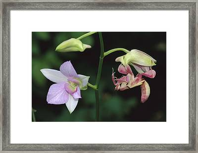 Orchid Mantis Hymenopus Coronatus Framed Print by Thomas Marent