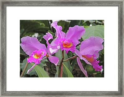 Orchids 14 Framed Print by Becky Lodes