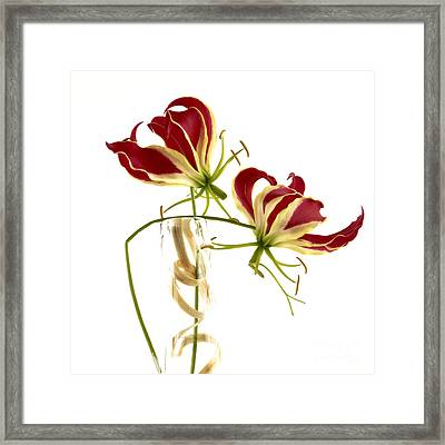 Gloriosa Lily. Framed Print by Bernard Jaubert