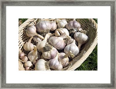 Organic Garlic Bulbs Framed Print by Sheila Terry