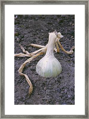 Organic Onion Framed Print by Maxine Adcock