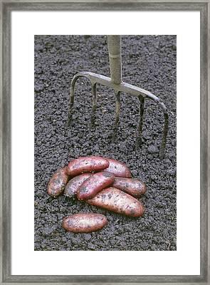 Organic Potatoes Framed Print by Maxine Adcock
