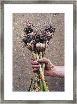 Organic Serpent Garlic Framed Print by Maxine Adcock