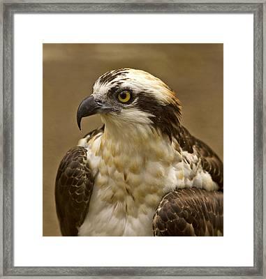 Osprey Portrait Framed Print by Anne Rodkin