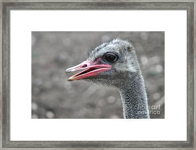 Ostrich Head Framed Print by Joanne Kocwin