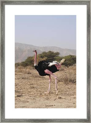 Ostrich In A Nature Reserve Framed Print by Photostock-israel