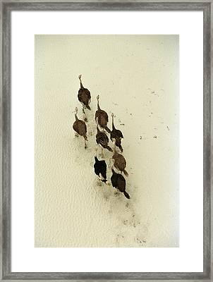 Ostriches Crossing The Makgadikgadi Framed Print by Bobby Haas