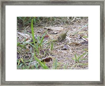 Oven Bird Walking Around Framed Print by Roena King