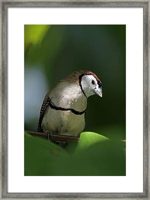 Owl Finch  Framed Print by Juergen Roth