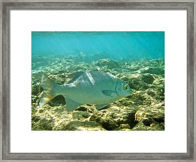 Pacific Chub 1080113.jpg Framed Print by Michael Peychich