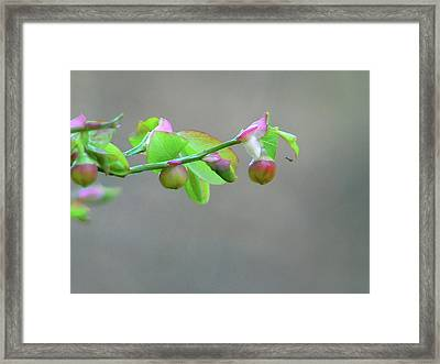 Pacific Huckleberry Framed Print by Pamela Patch