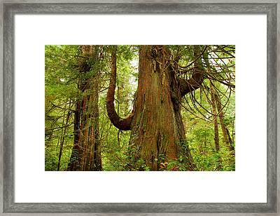 Pacific Rim Tree II Framed Print by John  Bartosik
