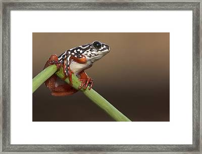 Painted Reed Frog Botswana Framed Print by Piotr Naskrecki
