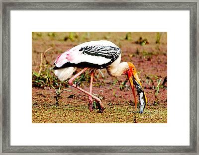 Painted Stork Feeding Framed Print by Pravine Chester