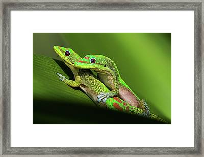 Pair Of Mating Green Geckos Framed Print by Pete Orelup