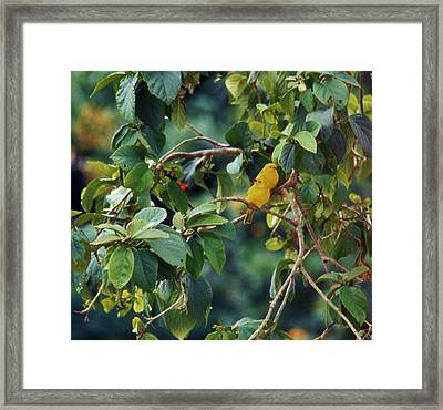 Pair Of Saffron Finches Framed Print by Craig Wood