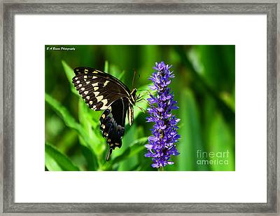 Palamedes Swallowtail Butterfly Framed Print by Barbara Bowen