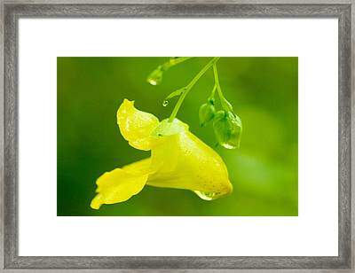 Pale Touch Me Not Framed Print by Amanda Kiplinger