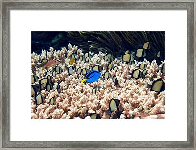 Palette Surgeonfish Over Coral Framed Print by Georgette Douwma