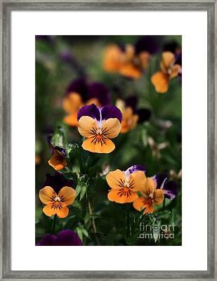 Pansy Garden Framed Print by Sabrina L Ryan