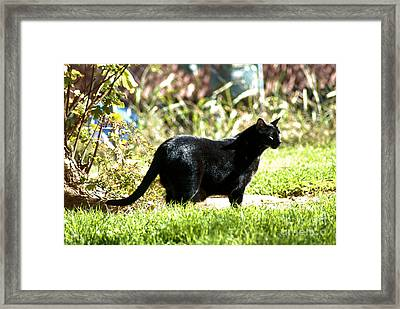 Panther In The Backyard Framed Print by Cheryl Poland