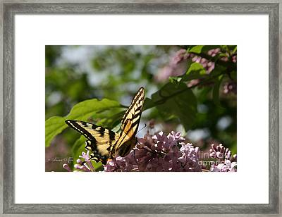 Papilio Glaucus   Eastern Tiger Swallowtail  Framed Print by Sharon Mau