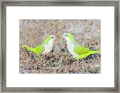 Parakeet Framed Print by Alex Bramwell
