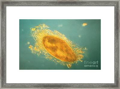Paramecium With Ejected Trichocysts Framed Print by Eric V Grave
