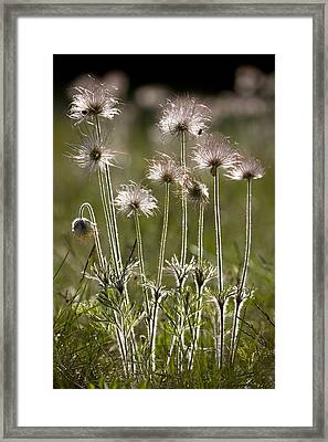 Pasque Flower (pulsatilla) Framed Print by Bob Gibbons