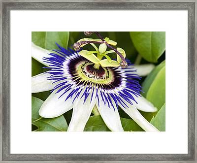 Passion Flower (passiflora Caerulea) Framed Print by Adrian Bicker