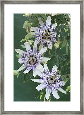 Passion Flowers Framed Print by Archie Young
