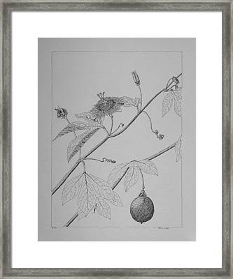 Passionflower Vine Framed Print by Daniel Reed