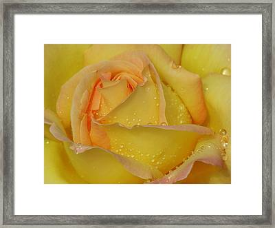Peace Rose Framed Print by Nicola Butt
