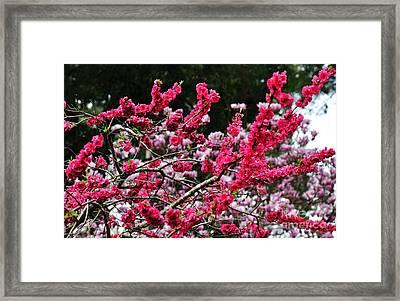 Peach Blossom Framed Print by Kaye Menner