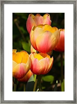 Peachy Tulips Framed Print by Byron Varvarigos