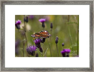 Peacock Butterfly On Knapweed Framed Print by Clare Bambers