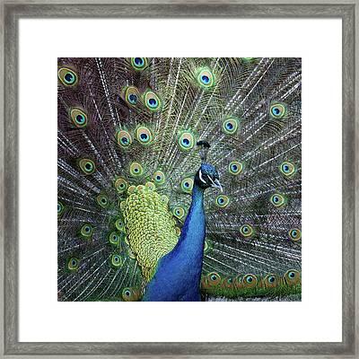 Peacock Framed Print by E.M. van Nuil