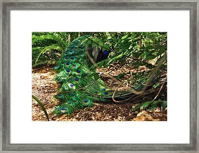 Peacock Hiding Framed Print by Kaye Menner