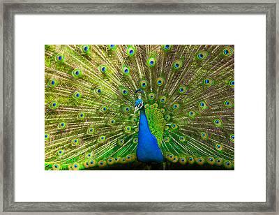 Peacock Wheel Framed Print by Thomas Splietker