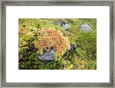 Peat Moss (sphagnum Sp.) Framed Print by Duncan Shaw