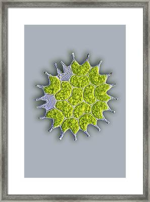 Pediastrum Green Algae, Light Micrograph Framed Print by Frank Fox