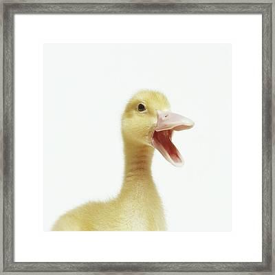 Pekin Duck Chick, Head-shot Framed Print by GK Hart/Vikki Hart