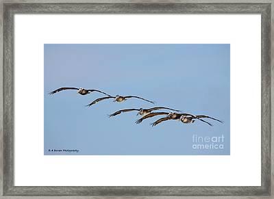 Pelican Crew In Flight Framed Print by Barbara Bowen