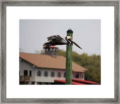 Pelican Flying Through Murrells Inlet Framed Print by Paulette Thomas