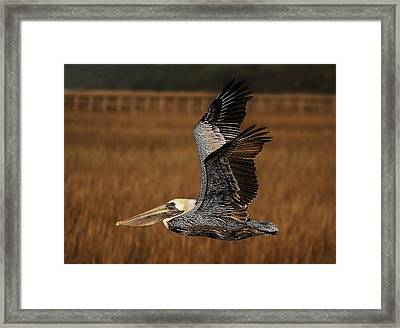 Pelican Flying Through The Marsh Framed Print by Paulette Thomas